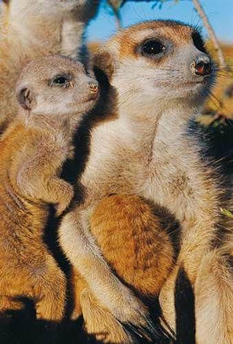一种可爱的小动物-猫鼬