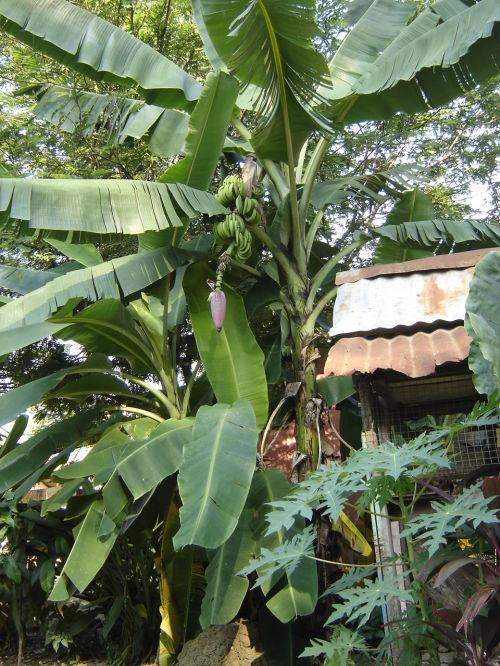 香蕉树轮廓简笔画