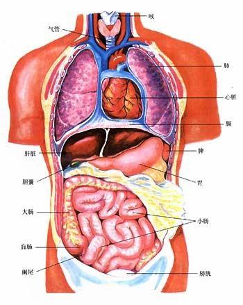 贴两张人的内脏分布图