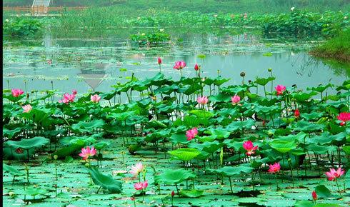 山东滕州微山湖湿地红荷旅游风景区在滕州市滨湖镇