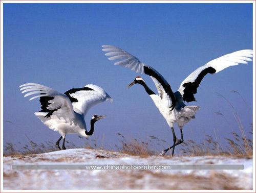 丹顶鹤的故事-清水芙蓉-我的搜狐