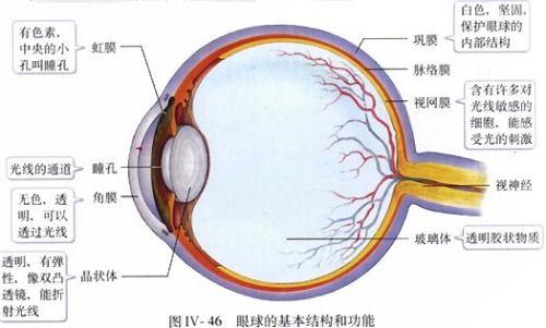 清楚的眼睛结构图